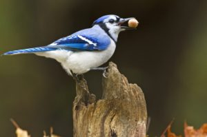 Bird-Behavior-Blue-Jay-Marie-Read
