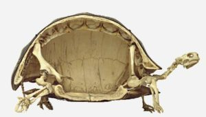 turtle in half