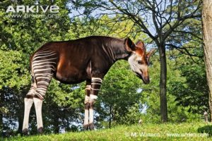 male-okapi-side-profile