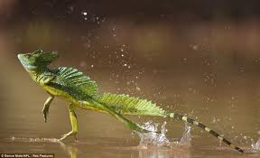 walking-water-lizard